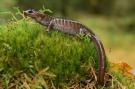 northwestern-salamander-1259799_1280