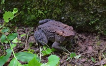 rain-wet-common-toad-2438475_1920