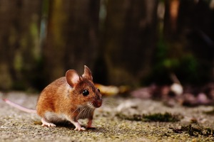 mouse-1708347_1920