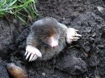 mole-13299_1280