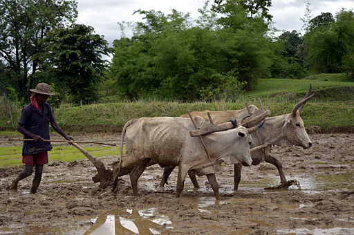 512px-Ploughing_a_paddy_field_with_oxen,_Umaria_district,_MP,_India